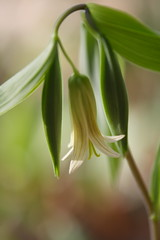 Wild Oats - Sessile Bellwort