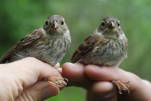 Field Sparrow Youngsters