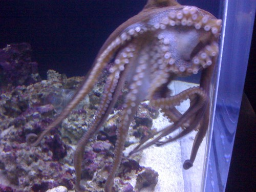 Octopus at Honolulu Aquarium