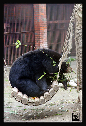 MOONBEAR RESCUE, CHENGDU CHINA 2008