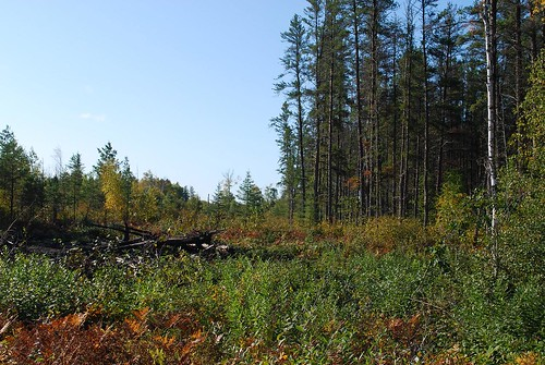 This clearcut, next to a mature jack pine stand, gives students an opportunity to learn about forest management.  Jack pine is a fast-growing, short-lived species.  This stand was nearing the end of its natural lifespan when the jack pine budworm outbreak made it the right time to harvest.