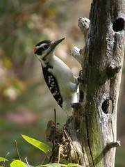 Hairy Woodpecker (Picoides villosus) macho/male