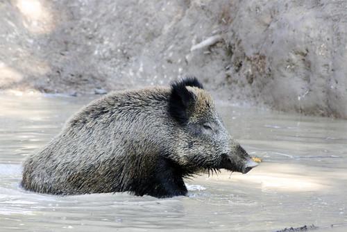 sanglier / wild boar