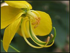 Cassia fistula flower - פרח כסית האבוב