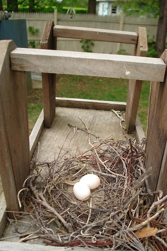 Mourning Dove Eggs