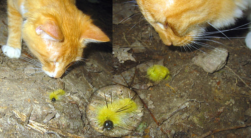 20080927 - camping - 169-6929-diptych-169-6927 - Oranjello vs spikey caterpiller - please click through to leave a comment on FlickR