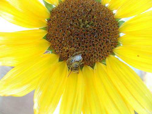 sunflower and two bees
