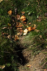 Half Eaten Apples by the Groundhog Hole
