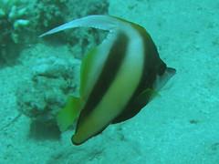 Pez estandarte en banco / Schooling bannerfish (Heniochus diphreutes)