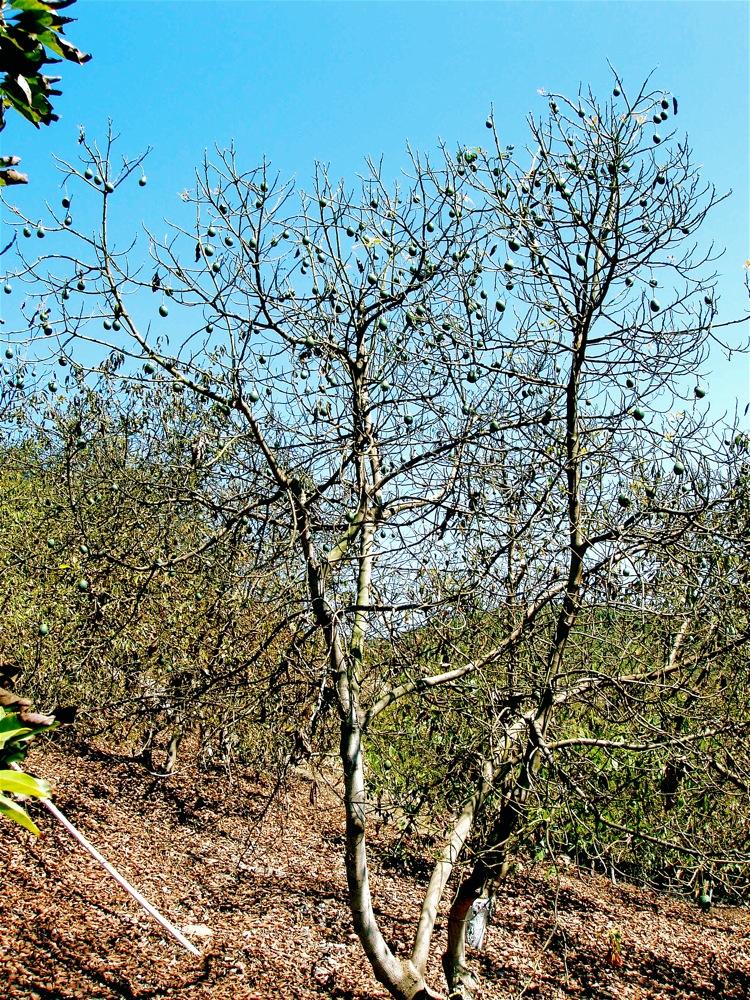 avos_on_dying_tree_fall08.jpg
