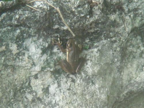 褐樹蛙11