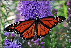 Monarch Butterfly (by StarbuckGuy)