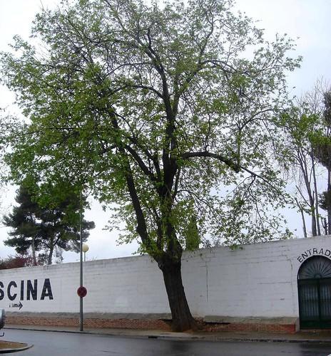 Morera en calle Teruel antes de la Tala.