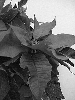 on the other hand some shots in B&W dont work at all, like this poinsettia. In B&W its drab, washed out, a boring old thing....