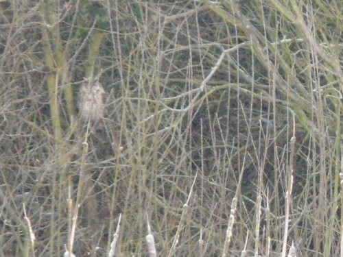 A Long-eared Owl... honestly!