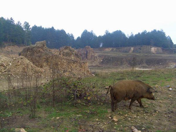 skouries-boar