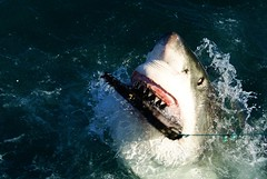 Great White Shark II