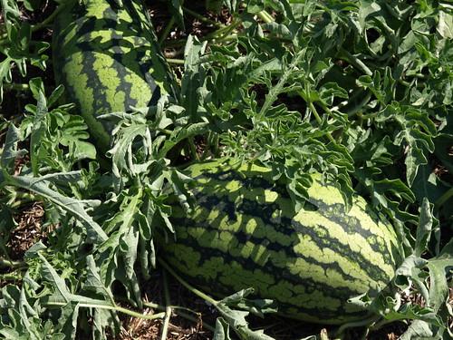 Sweet Beauty Watermelon