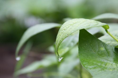Bean Drops