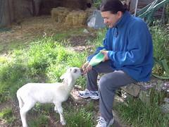 Agnellino beve il latte con il Biberon