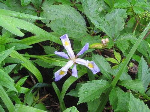 Last wild iris