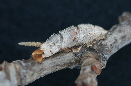 Mummified sphinx caterpillar shell