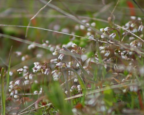 Spring Whitlow-grass