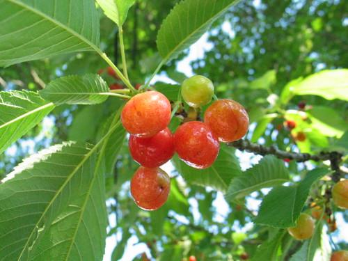 new cherries!