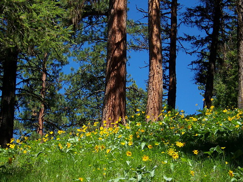 A ridge covered with Arrowleaf Balsamroot