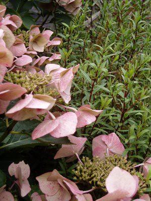 hydrangea in Mum and Dads garden. taken by me.