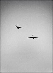 Trumpeter Swans (by StarbuckGuy)