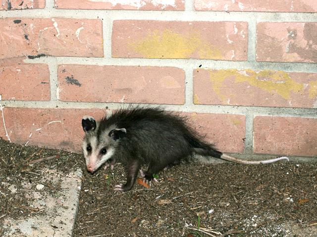Opossum-Jr.
