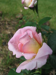 Raindrops On Roses, Minneapolis, Minnesota, June 2008, photo © 2008-2009 by QuoinMonkey. All rights reserved