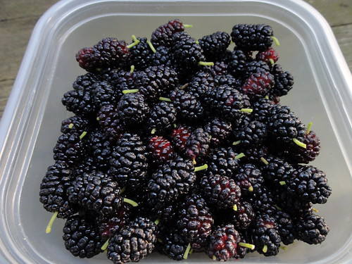 Mulberries picked 6/19/11