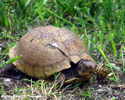 _Box Turtle eating 5958.JPG.xcf