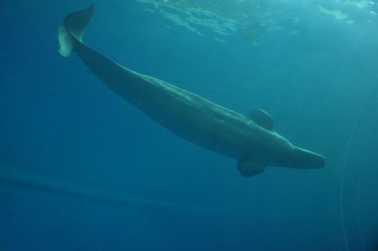 大白鯨的優雅身形