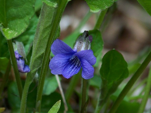 Early blue violet, Viola adunca