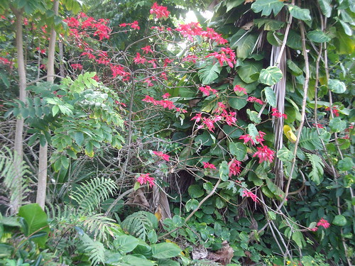 poinsettias in the jungle