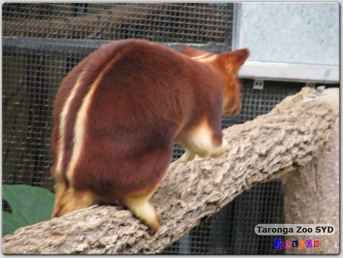 Taronga Zoo - Tree Kangaroo