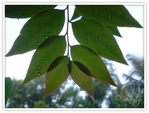 leaf-vin8gdd