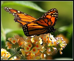 Butterfly on flower bushes