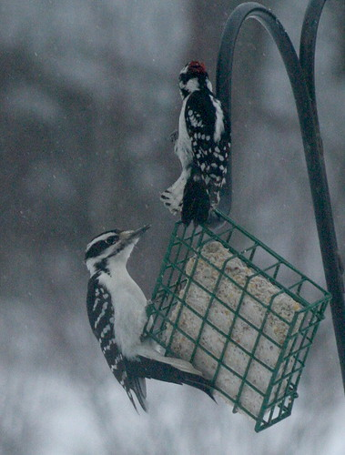 Hairy and Downy at suet