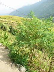 Wild growing hemp
