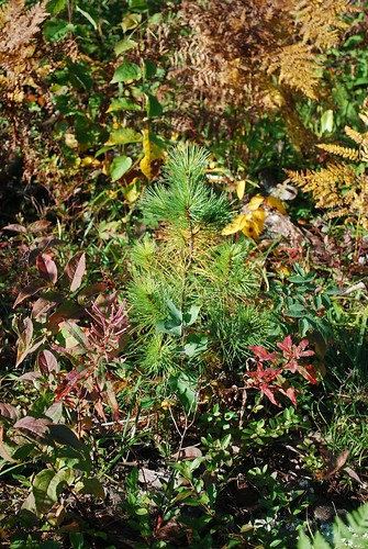 This healthy, vigorous white pine seedling was planted by a student during a visit to the school forest.