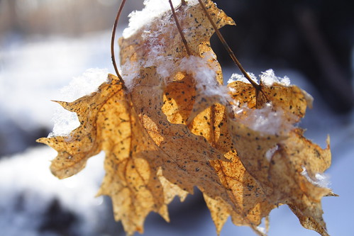 Maple Leaves in Snow