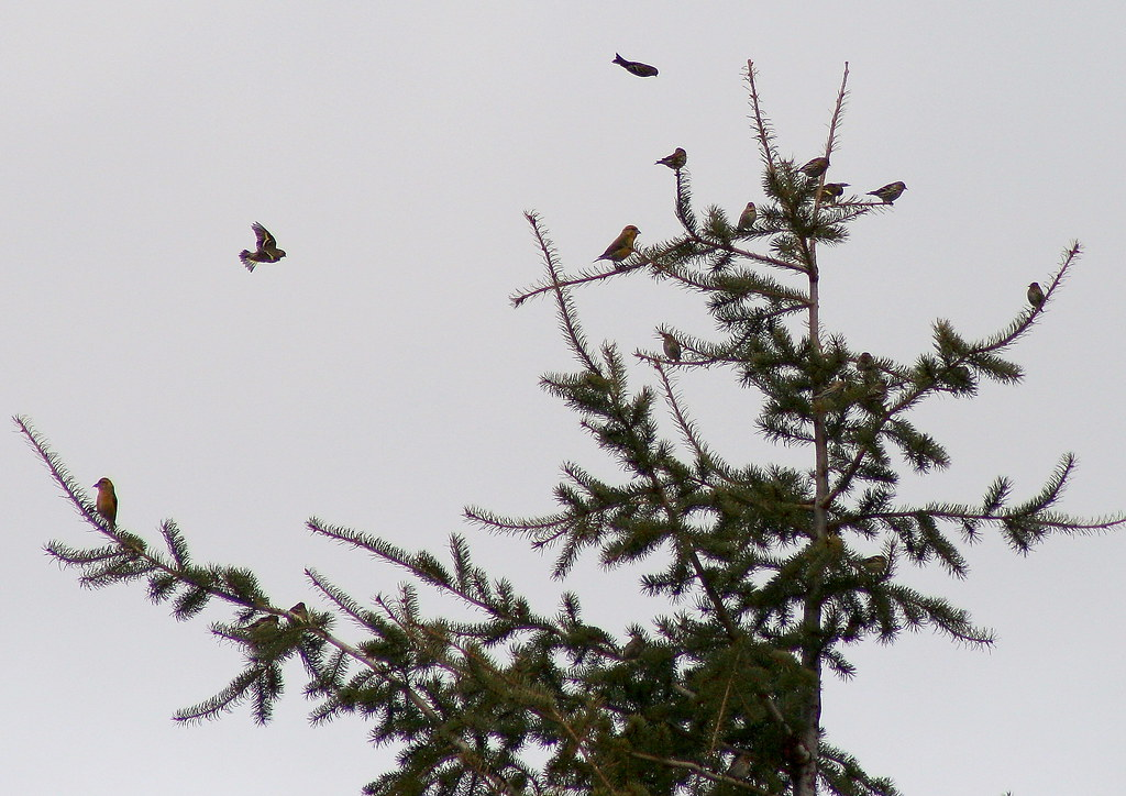 Flock Crossbills