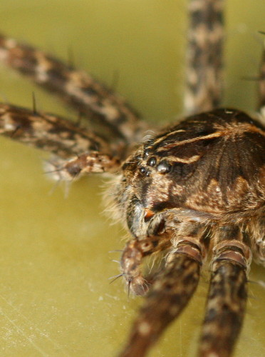Adult dock spider