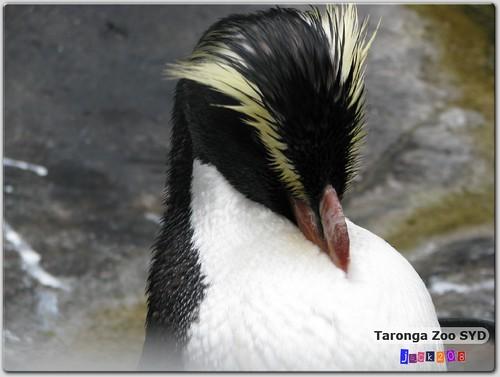 Taronga Zoo - Fiordland Penguin