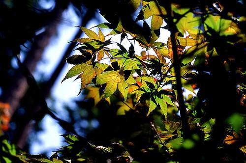 Japanese Maple. (Kodak Ektachrome E100VS. Nikon F100. Epson V500.)
