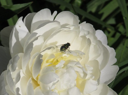 House fly on white peony